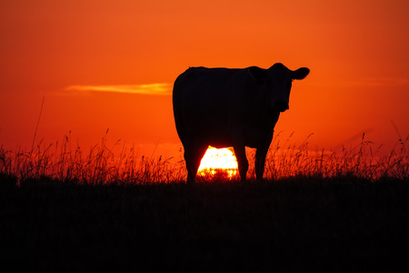 Cow's silhoutte at sunset in a meadow with the sun glowing