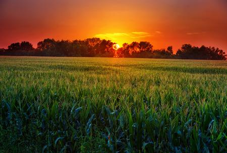 Campo de maíz en el medio oeste al atardecer sobre todos los tallos de maíz Foto de archivo