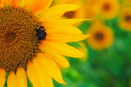 A bee on a sunflower getting nectar