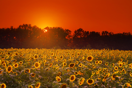 Black Oil Sunflower field food plot at sunset planted for dove hunting.