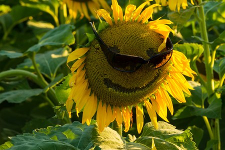 Black oil sunflower in a field planted for bird seed wearing a pairr of sunglasses.  The sunflower has a smiley face on it