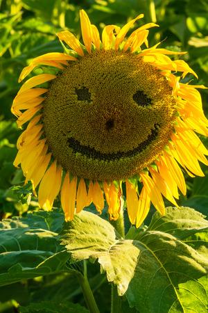 Sunflower in a field with a smiley face Zdjęcie Seryjne