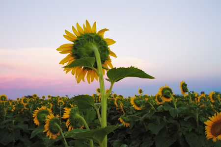 Sunflower field in the midwest during the twilight hours.   写真素材