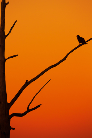 Silhouette of a Turkey Vulture perched in a dead rotting tree with the glow of a sunset or sunrise. 写真素材