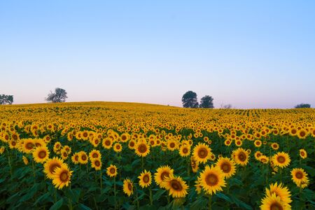 Sunflower field in the Midwest blooming during the Summer. Stock Photo