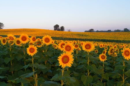 Sunflowers in the Midwest glowing in the light.  Sunflowers can be seen through the midwest states during the summer.