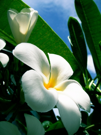 White Frangipani photo