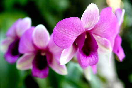 groups flowers dendrobium photo