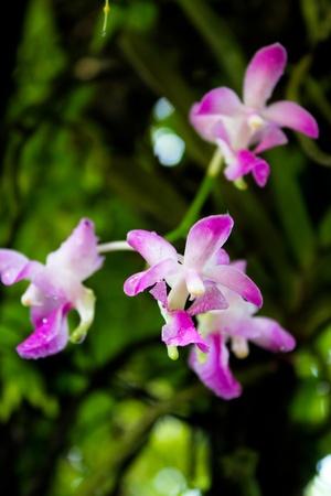 purple aerides crassifolia photo