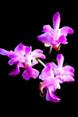 purple aerides crassifolia on black photo