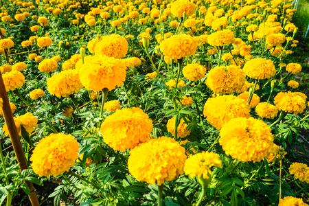 glorify: marigold flower for sell in market Stock Photo