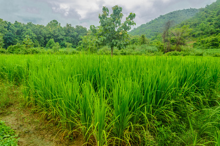intellect: rice farm from local people for preserve gene and conserve  intellect for future.