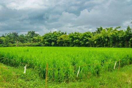 conserve: rice farm from local people for preserve gene and conserve  intellect for future.