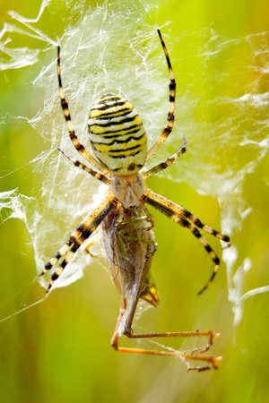 Wasp Spider (Argiope bruennichi) devours grasshopper Stock Photo - 4289101