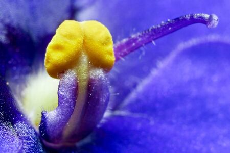 Macro shoot of African Violet stamen. Ambiguous picture :-) photo