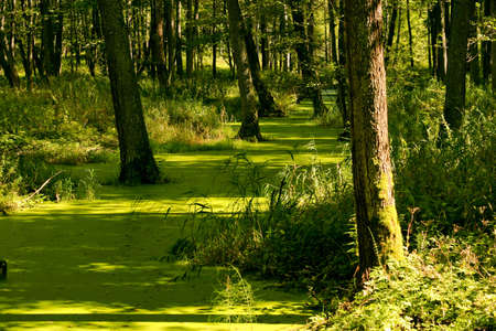 Overgrown swamp in the forest with a Duckweed. photo