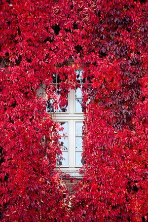Autumn, october, red Virginia creeper (Parthenocissus quinquefolia) around window. photo