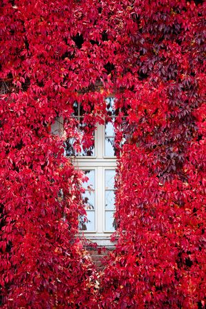 Autumn, october, red Virginia creeper (Parthenocissus quinquefolia) around window. photo