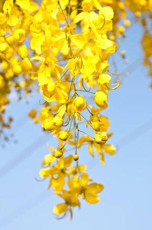 golden shower: Cassia fistula is flower of summer