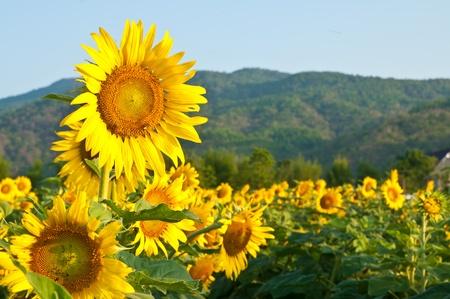 Sunflower Field on blue sky