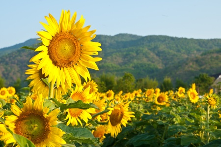 sunflowers field: Sunflower Field on blue sky