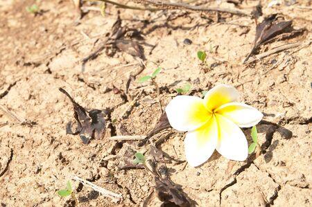 Frangipani flowers on the Ground Stock Photo - 13598547