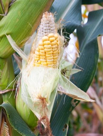 shucked: Corn field
