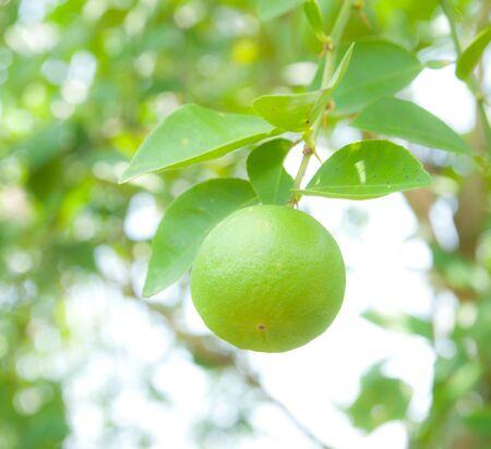 good life: Fresh green lemon