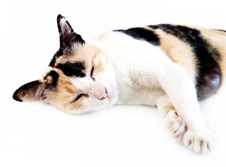 Old cat sleep on white background  photo