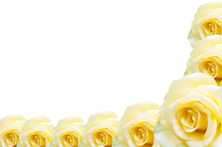disclosed: Yellow rose isolated on white background  Stock Photo