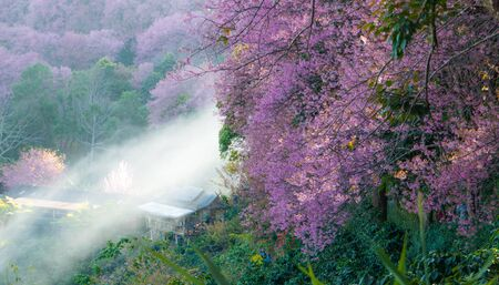 Sakura pink flower on mountain in thailand, cherry blossom photo