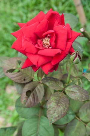 Red Rose on the Branch in the Garden Stock Photo - 14626346
