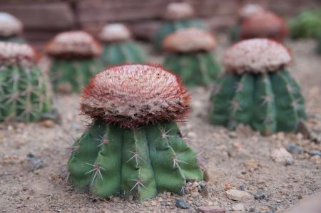 cactus garden at chiang mai Stock Photo - 17274792