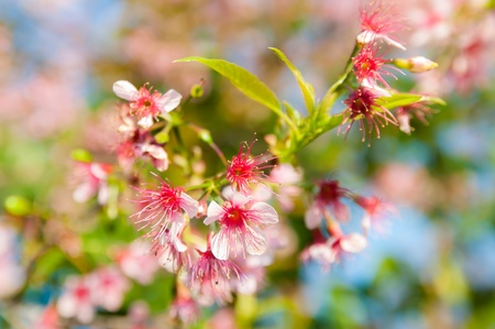 Wild Himalayan cherry blooming photo