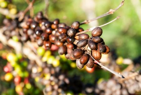 planta de cafe: granos de café en cafeto