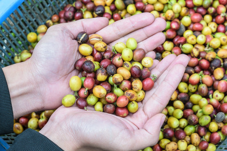 coffee beans on agriculturist hand