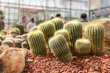 cactus flower: cactus