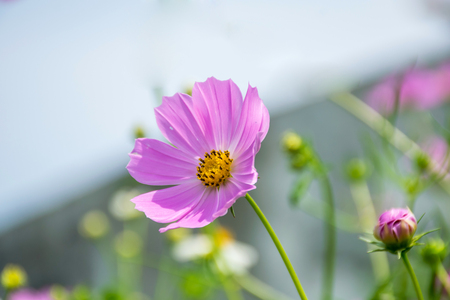 Cosmos flowers blooming