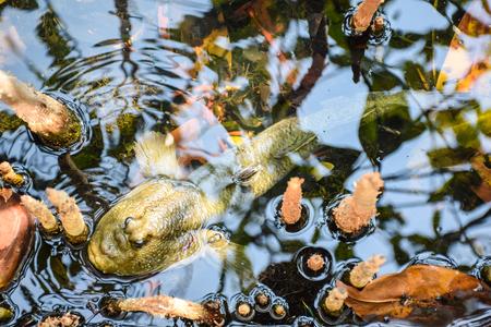 animals amphibious: Mudskipper, Amphibious fish Stock Photo