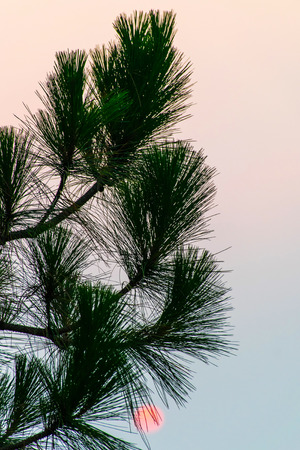 Pine Tree Sunrise Silhouette