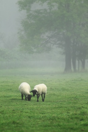 Sheep. photo