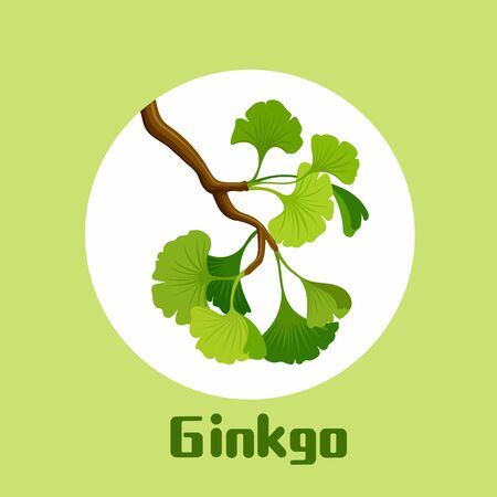 Branch of ginkgo biloba with leaves Ginkgo cosmetic and medical plant. vector illustration
