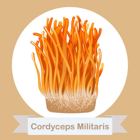 Cordyceps Militaris. Traditional chinese herbs, Is a mushroom that using for medicine and food famous in Asian. vector illustration 矢量图像