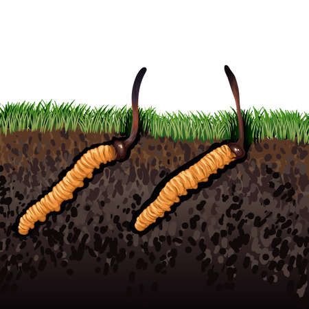 Cordyceps Sinensis. Traditional chinese herbs, Is a mushroom that using for medicine and food famous in Asian. vector illustration 矢量图像