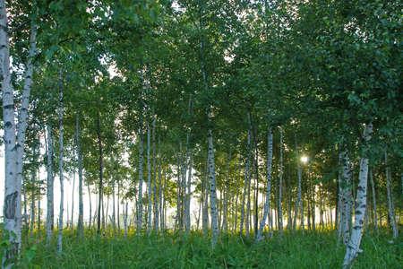 white birches Stock Photo - 13320054
