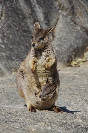 A mother and a child of rock wallabies Stock Photo - 13328313