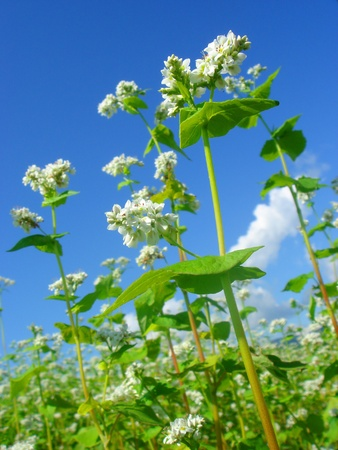the flowers of buckwheat     photo