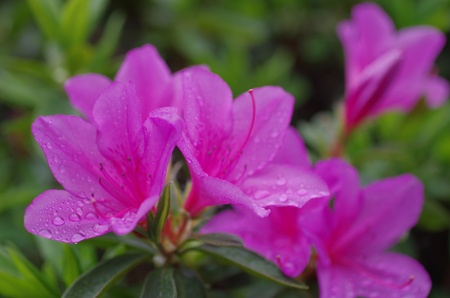 azalea with raindrops Stock Photo - 13352017