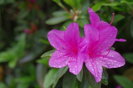 azalea with raindrops Stock Photo - 13352015