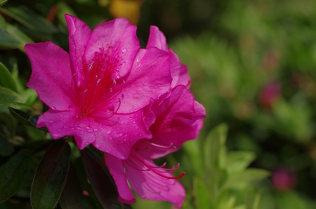 azalea with raindrops photo